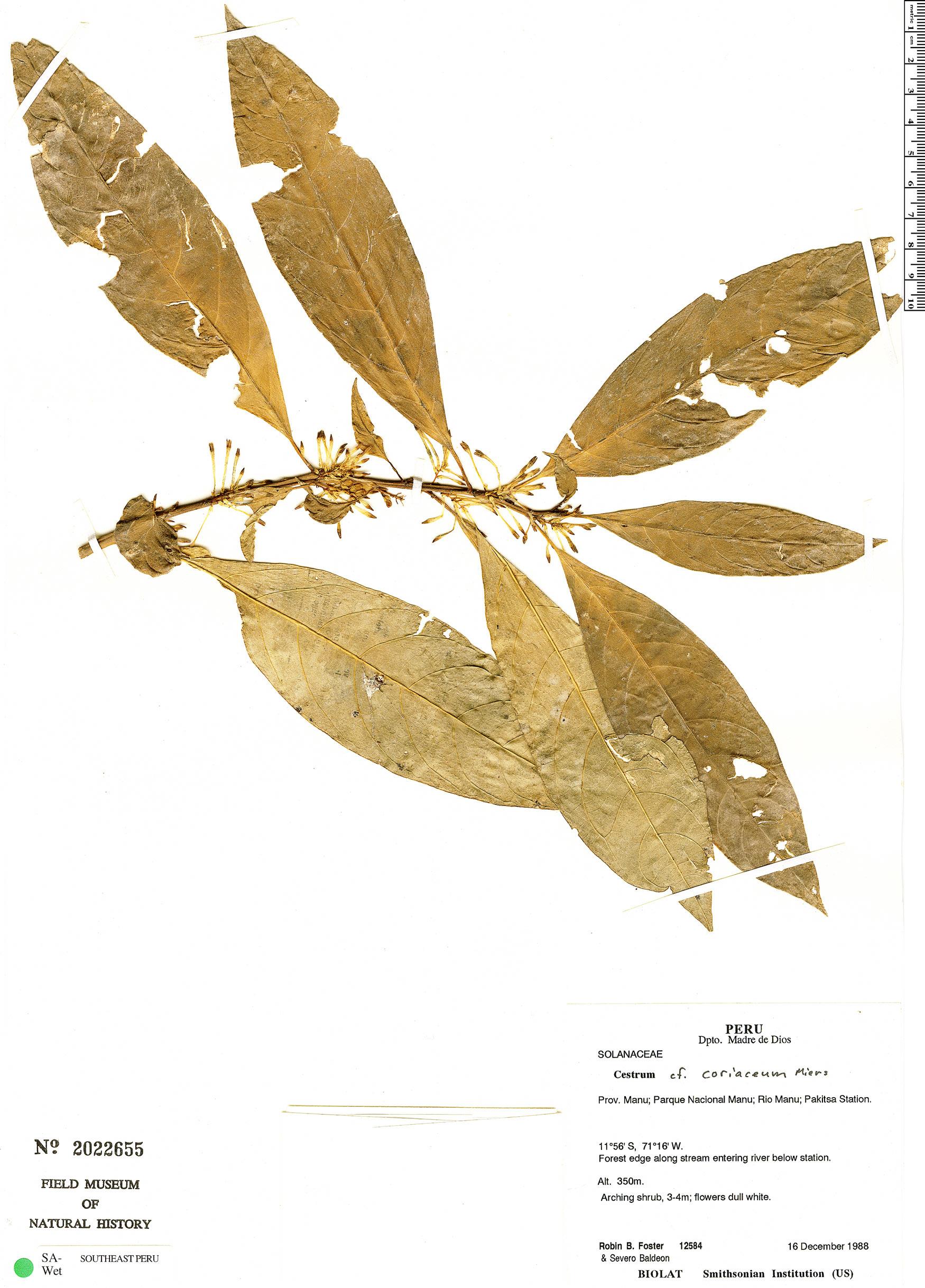 Specimen: Cestrum coriaceum