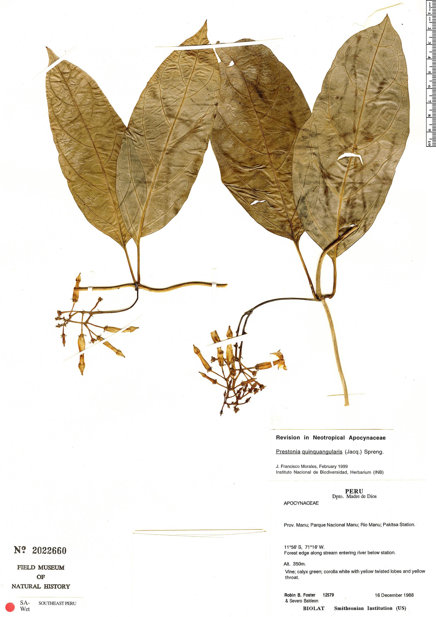 Specimen: Prestonia quinquangularis