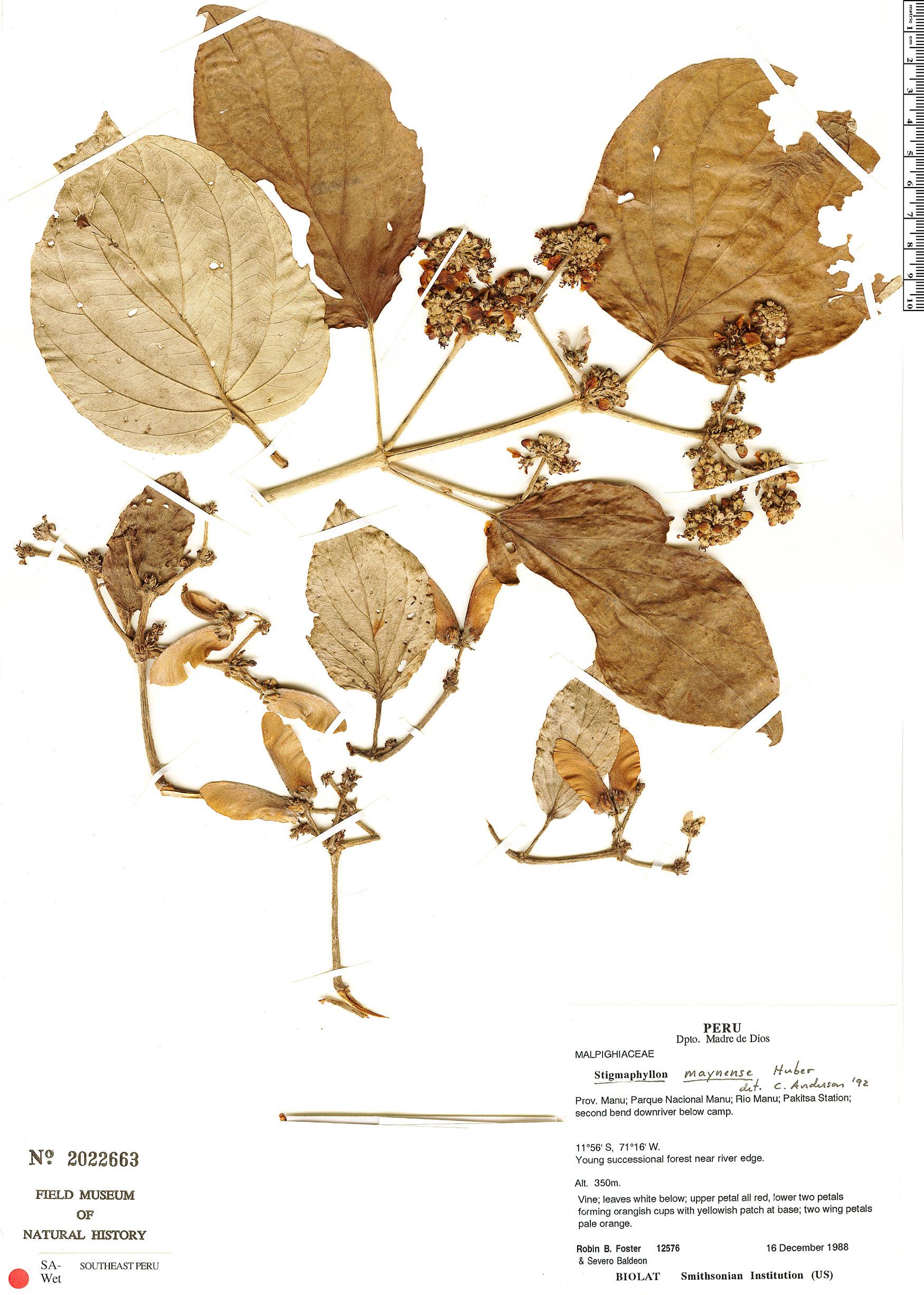 Specimen: Stigmaphyllon maynense