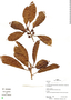Ficus trigona L. f., Peru, R. B. Foster 12567, F
