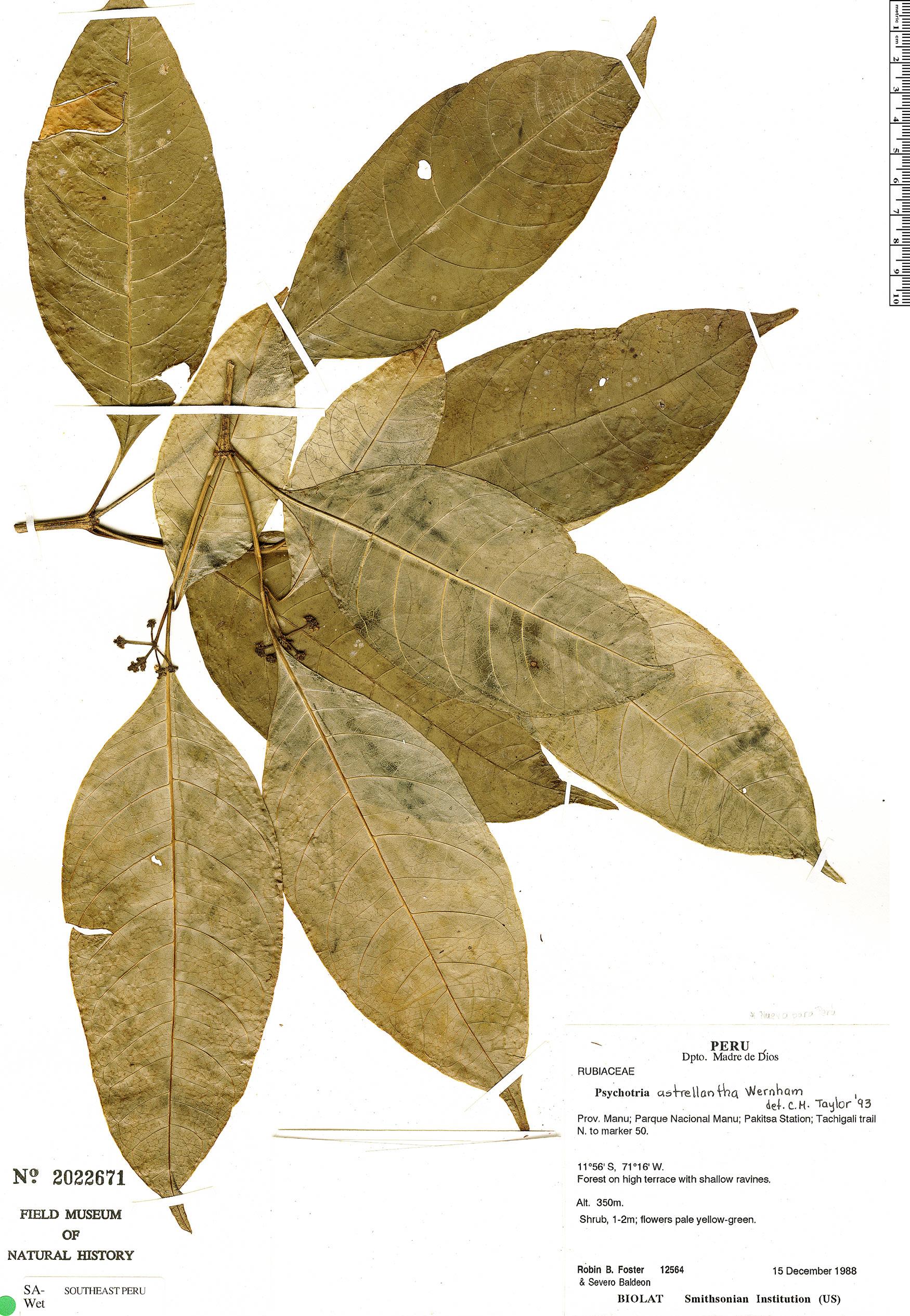 Specimen: Eumachia albert-smithii