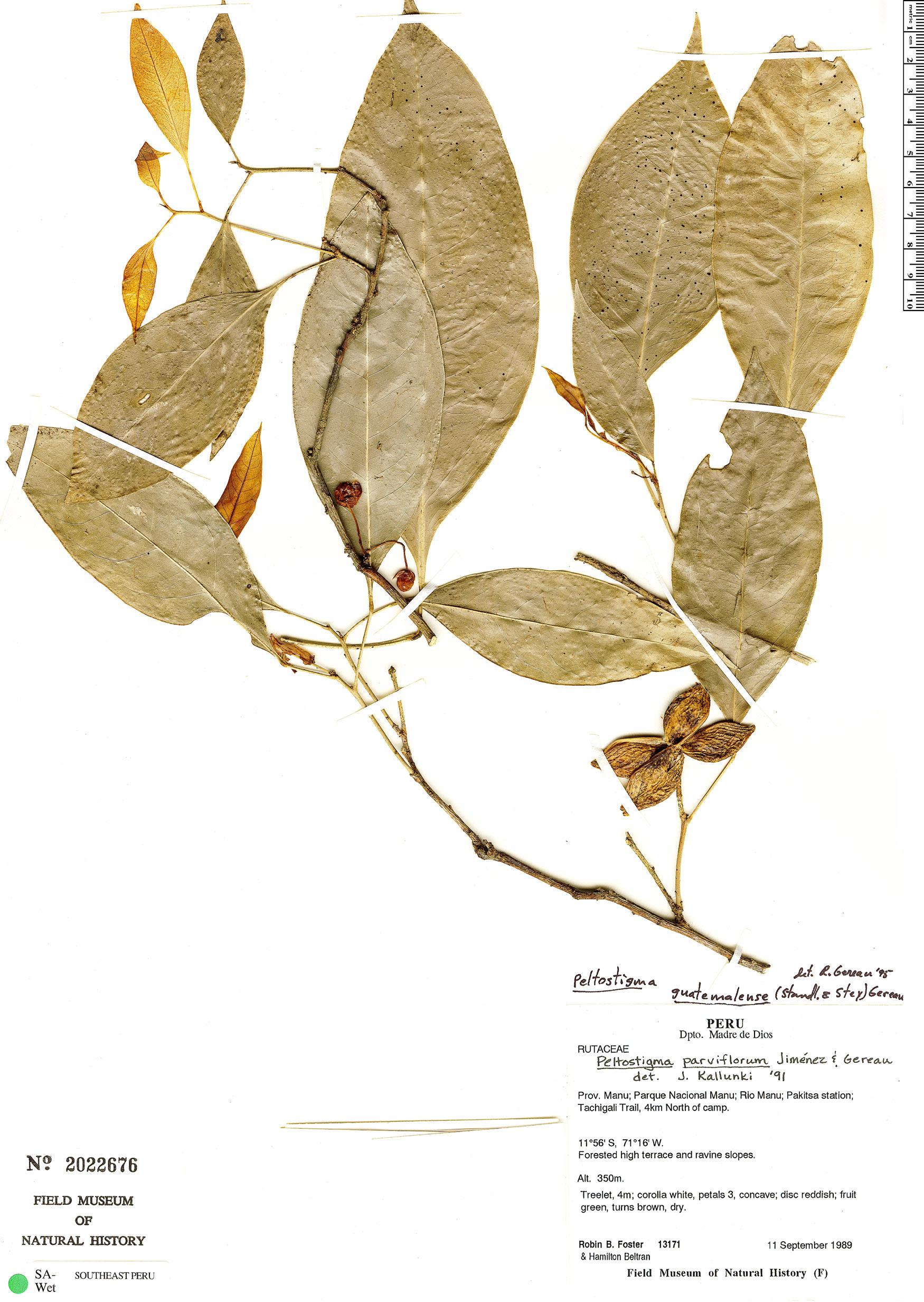 Espécime: Peltostigma guatemalense