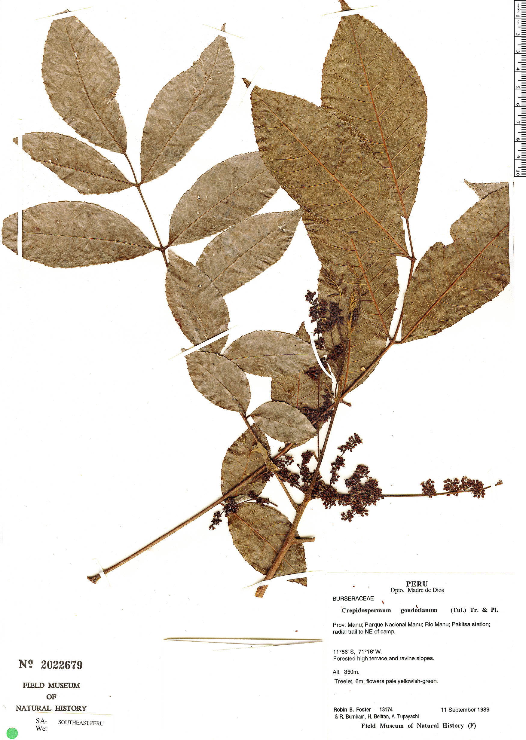 Espécime: Crepidospermum goudotianum