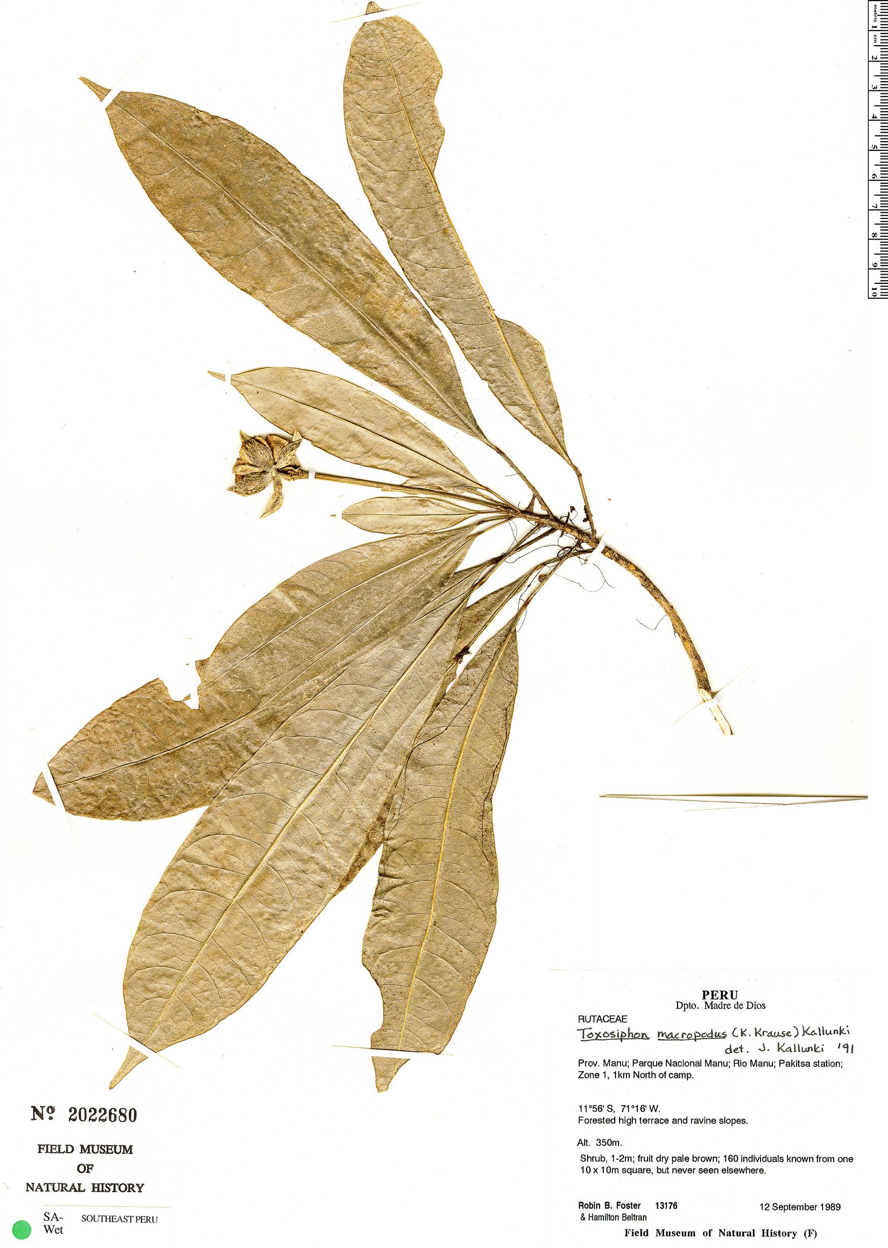 Specimen: Toxosiphon macropodus