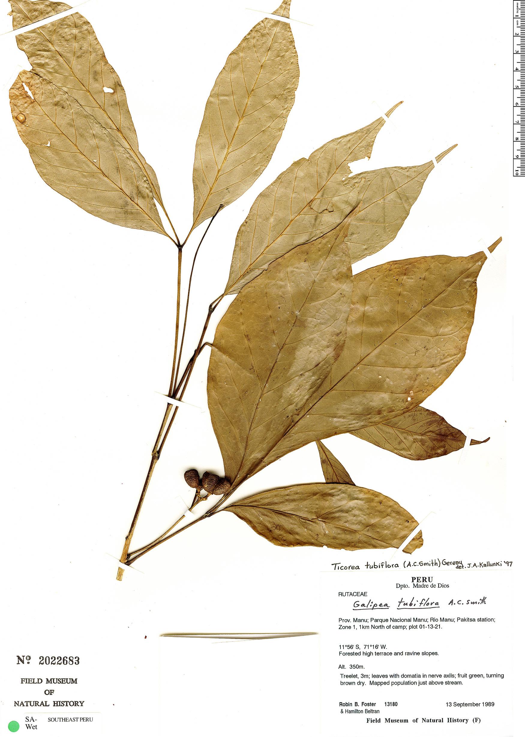Specimen: Ticorea tubiflora