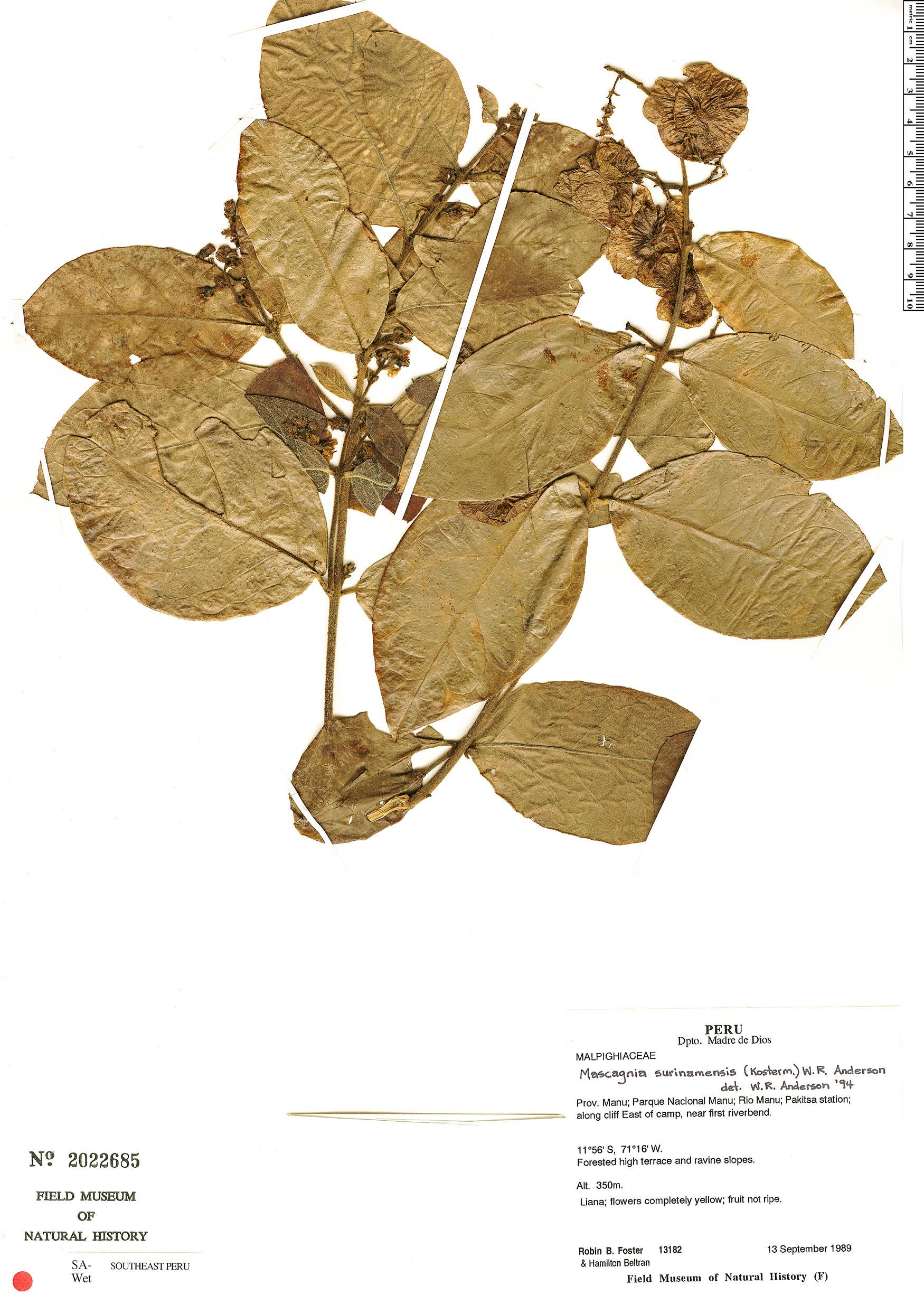 Specimen: Christianella surinamensis