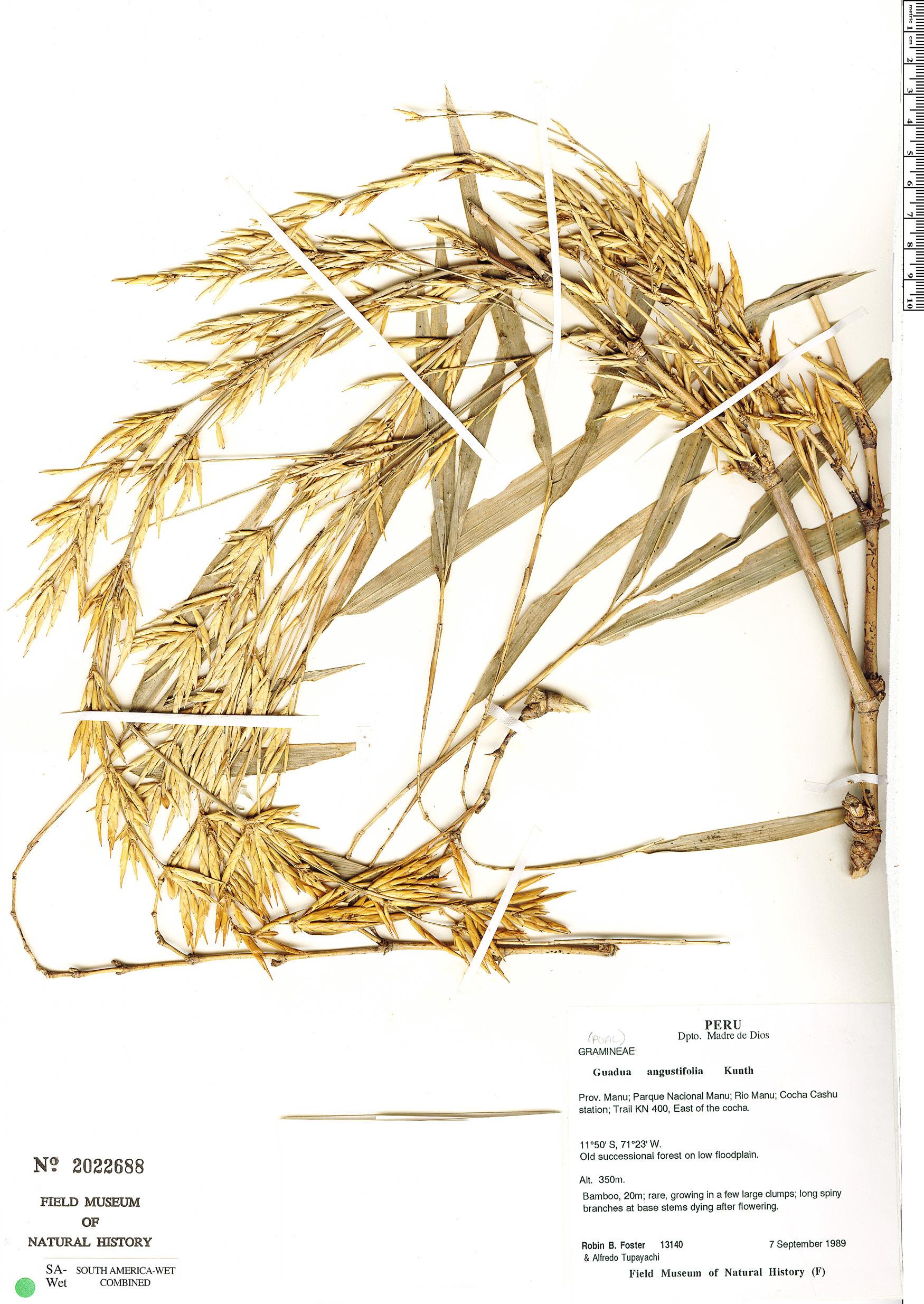 Specimen: Guadua chacoensis