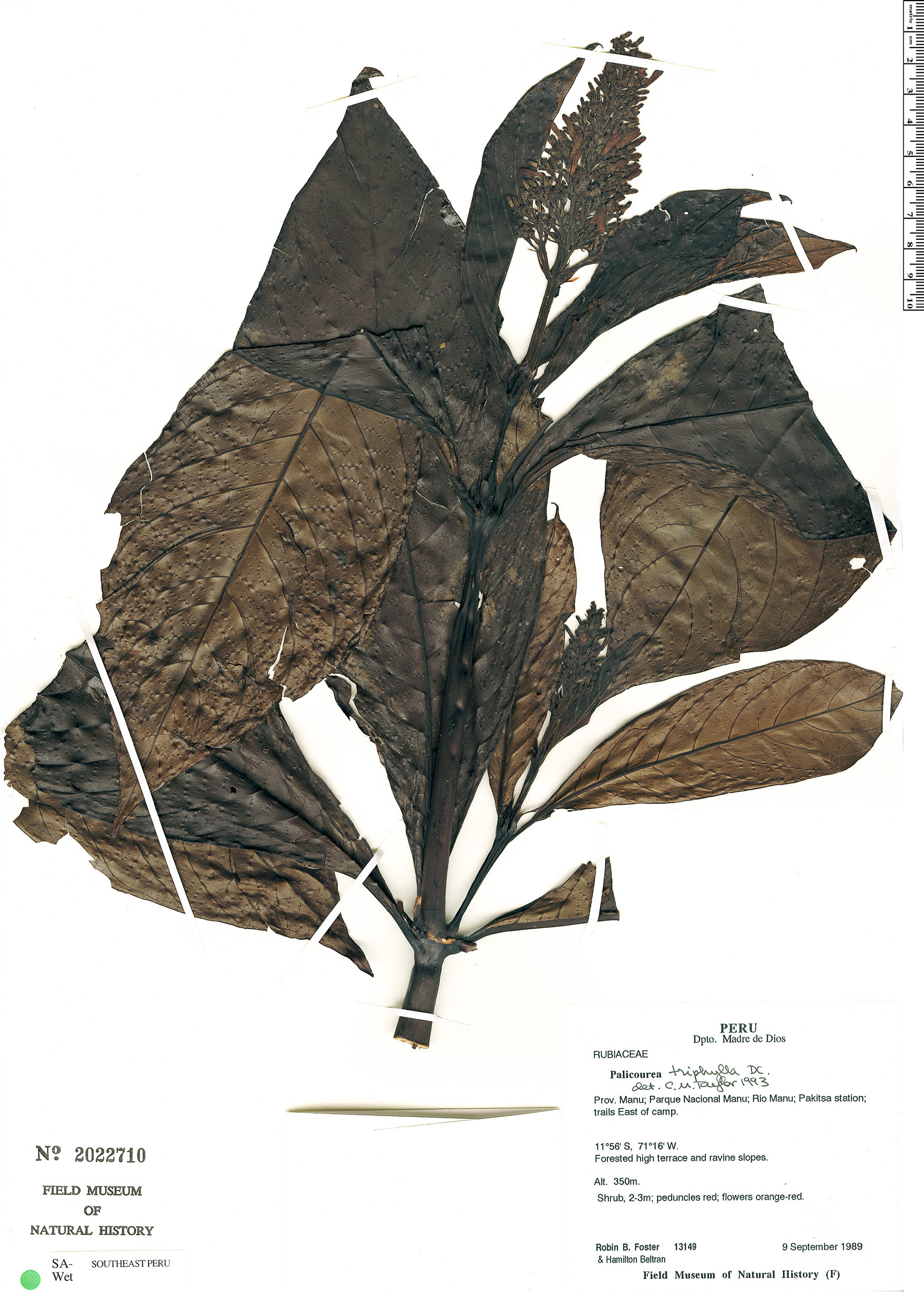 Specimen: Palicourea triphylla