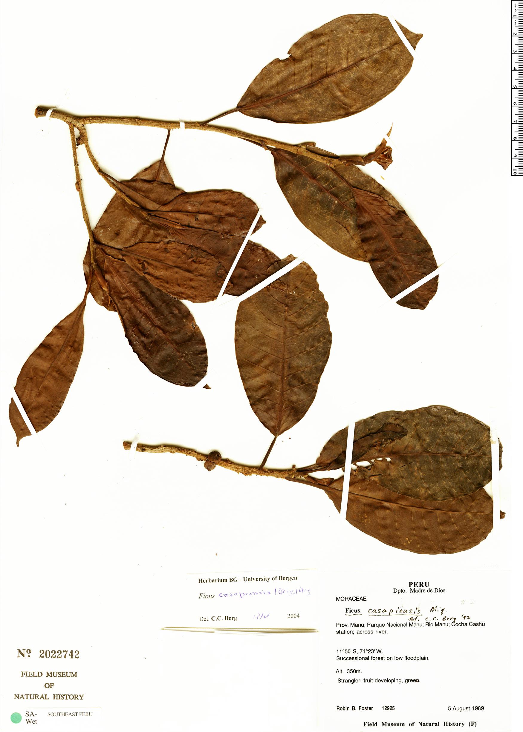 Specimen: Ficus casapiensis