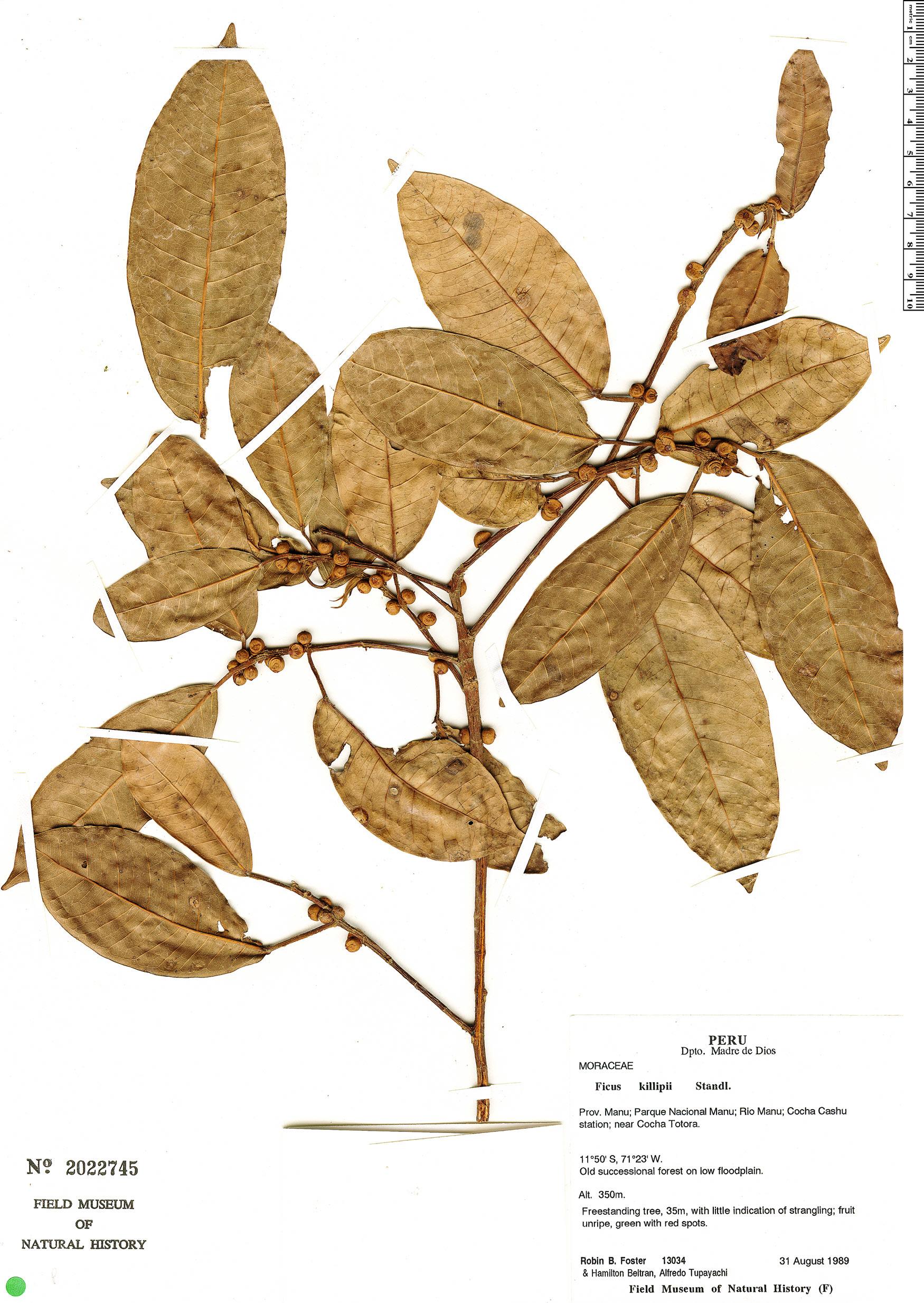 Specimen: Ficus coerulescens