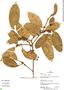 Ficus coerulescens, Peru, R. B. Foster 13034, F