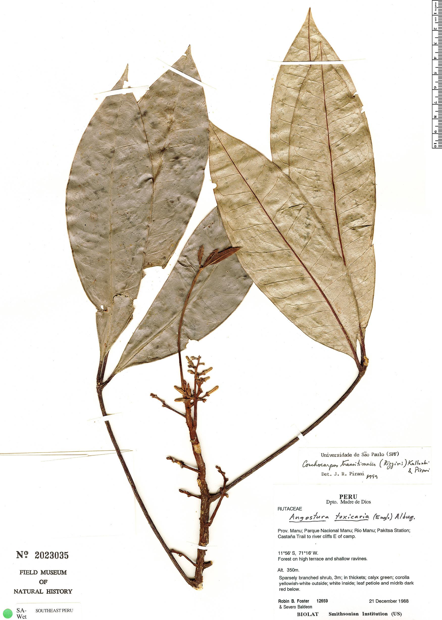 Specimen: Conchocarpus transitionalis