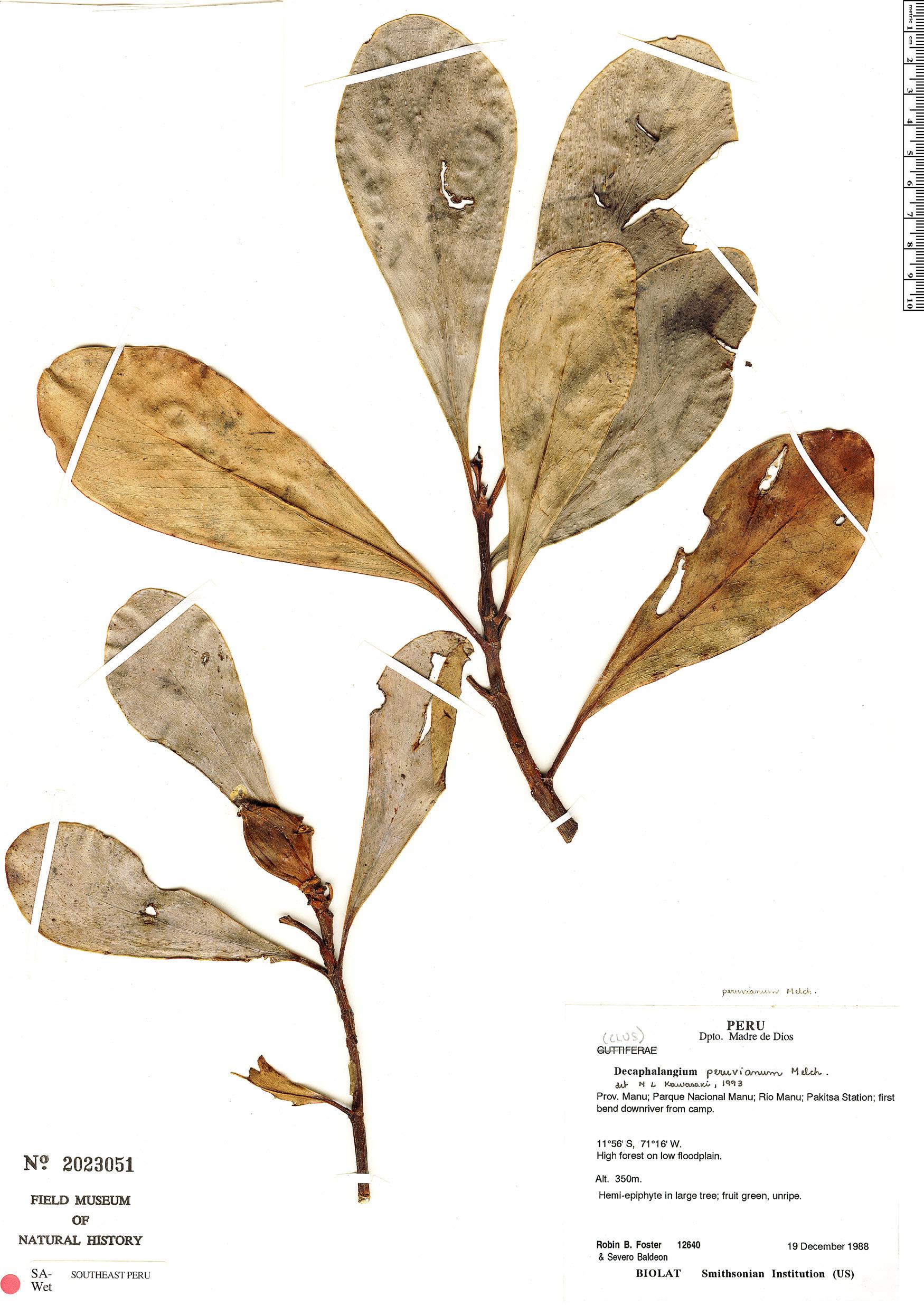 Espécimen: Clusia nigrolineata