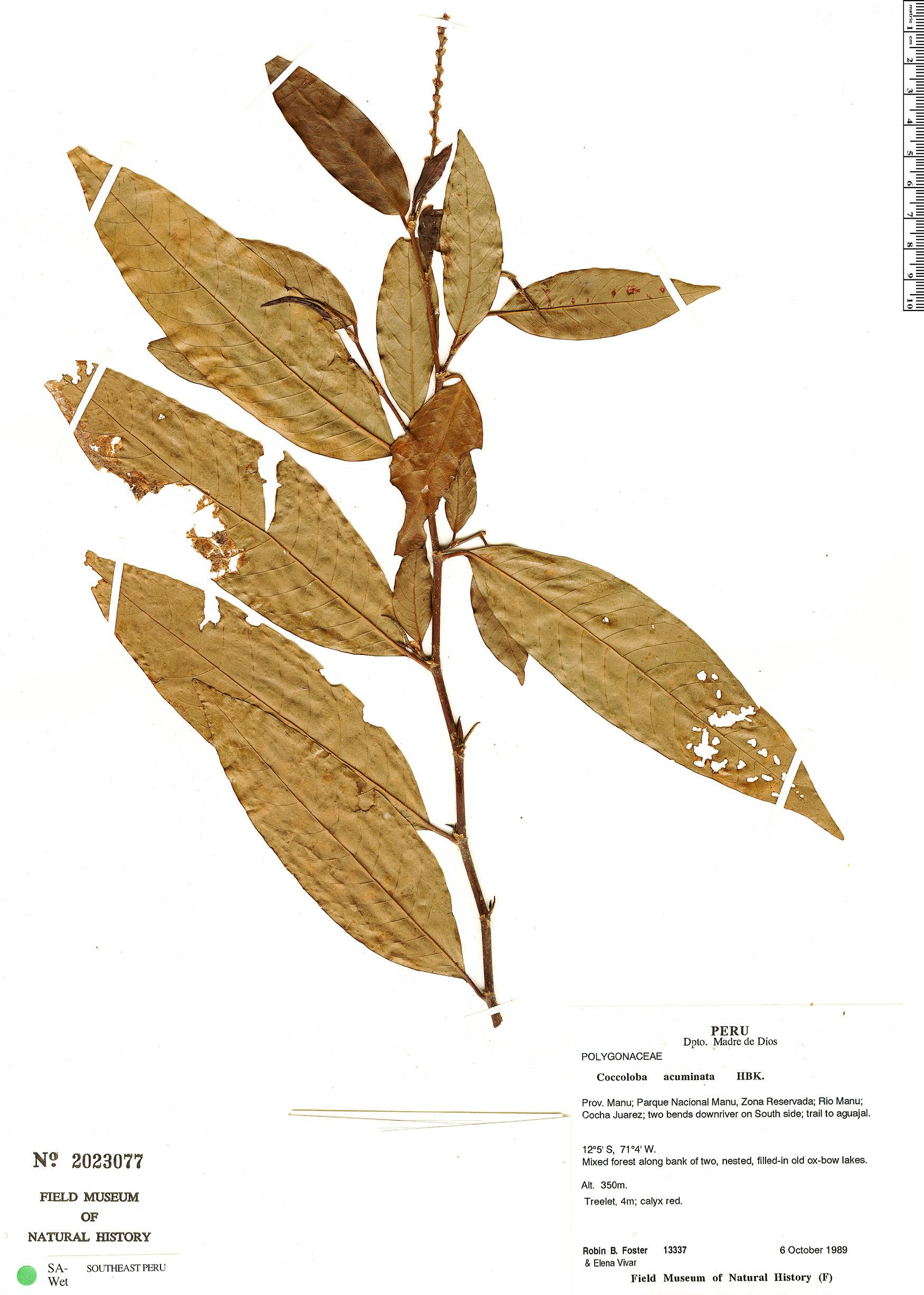Specimen: Coccoloba acuminata