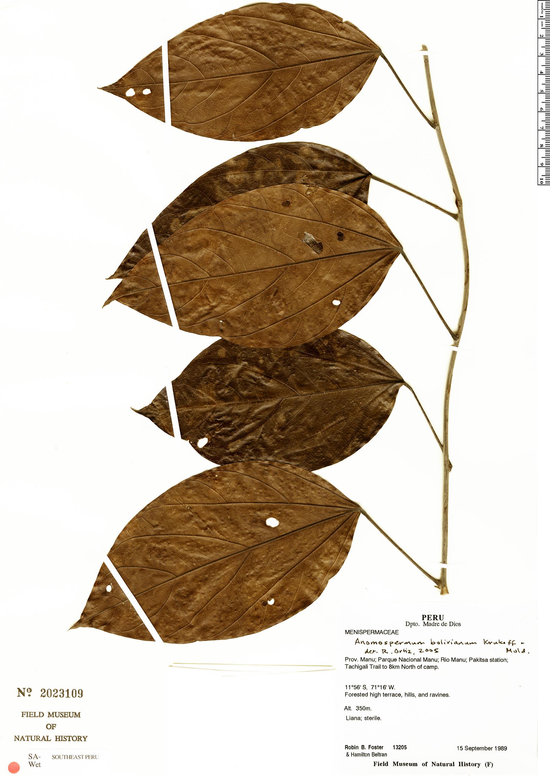 Specimen: Anomospermum bolivianum
