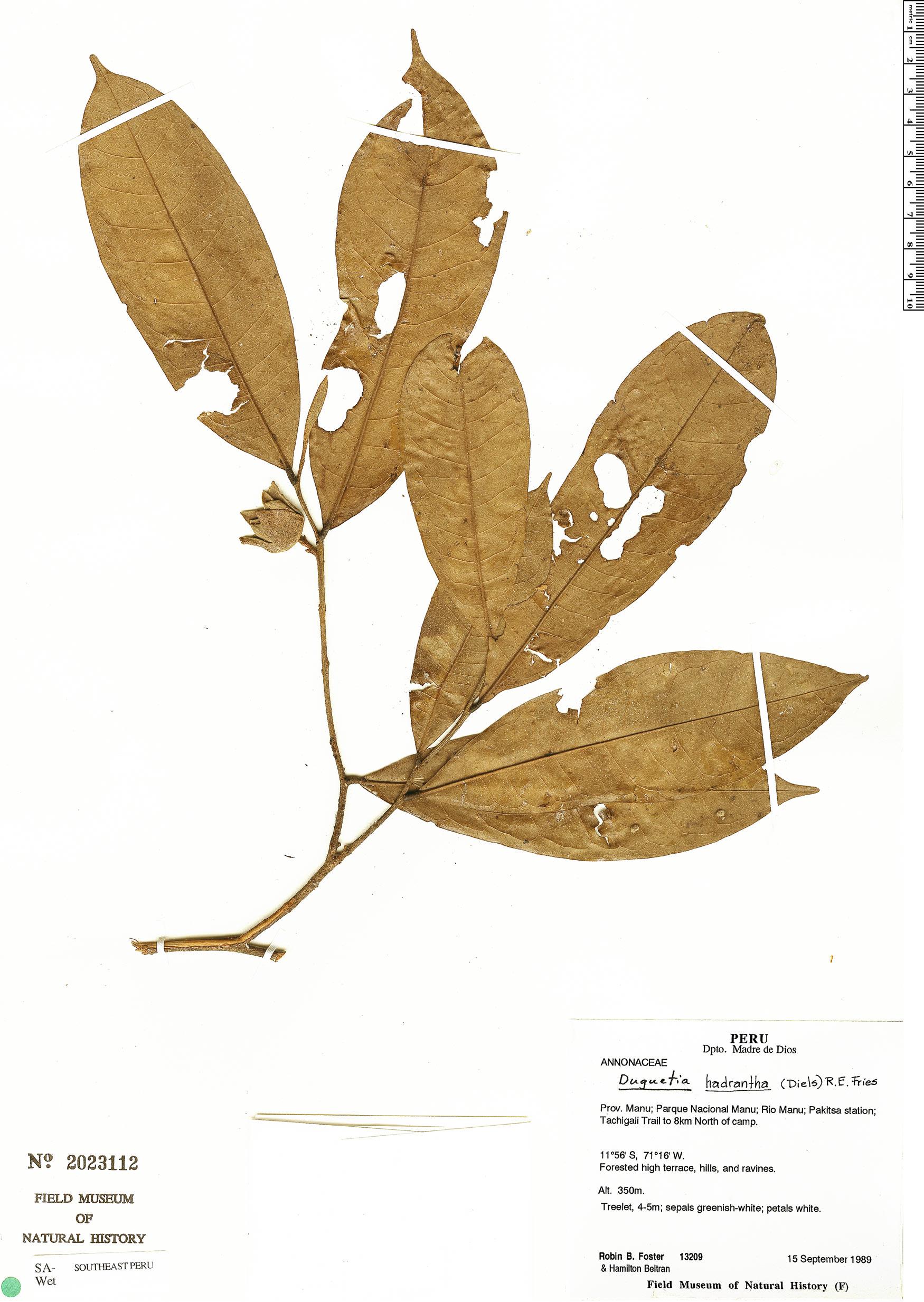 Specimen: Duguetia hadrantha