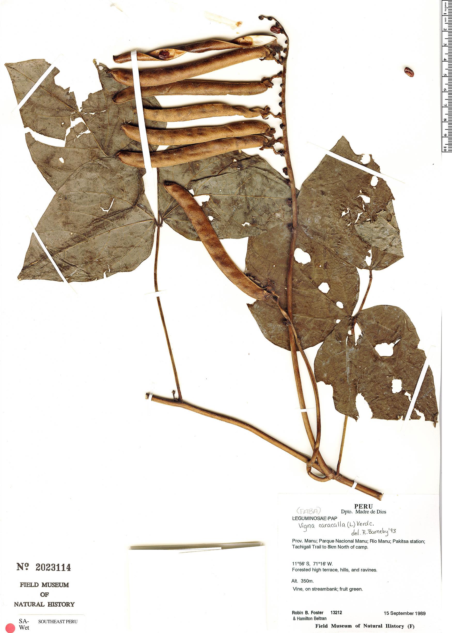 Specimen: Vigna polytyla