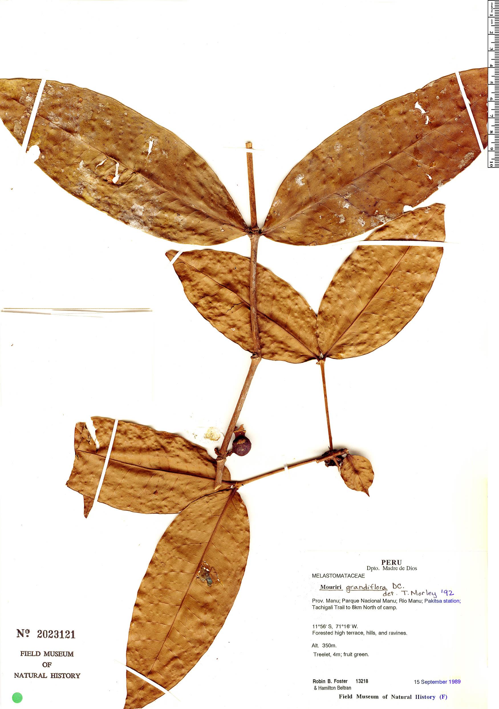 Specimen: Mouriri grandiflora