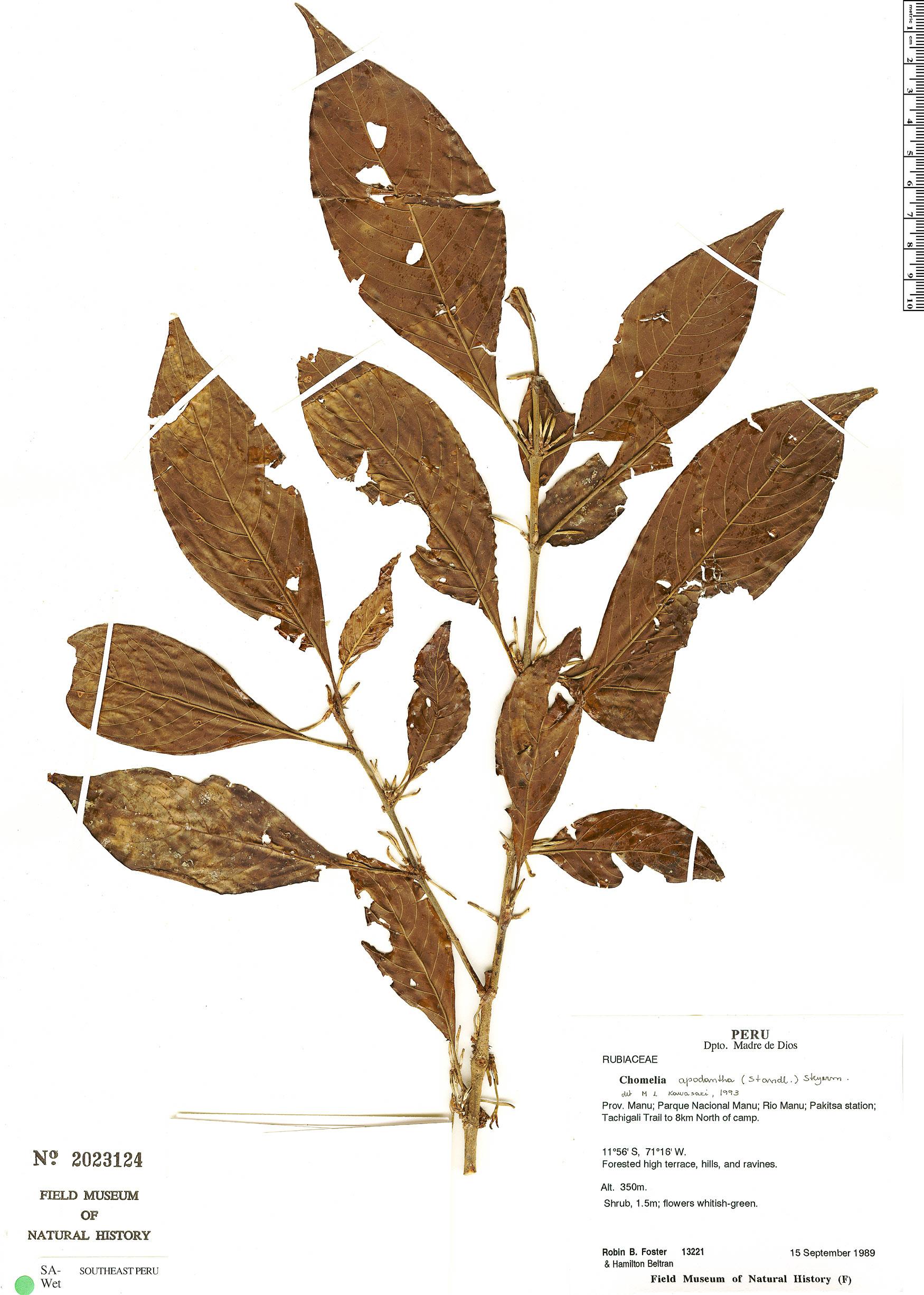 Espécime: Chomelia apodantha