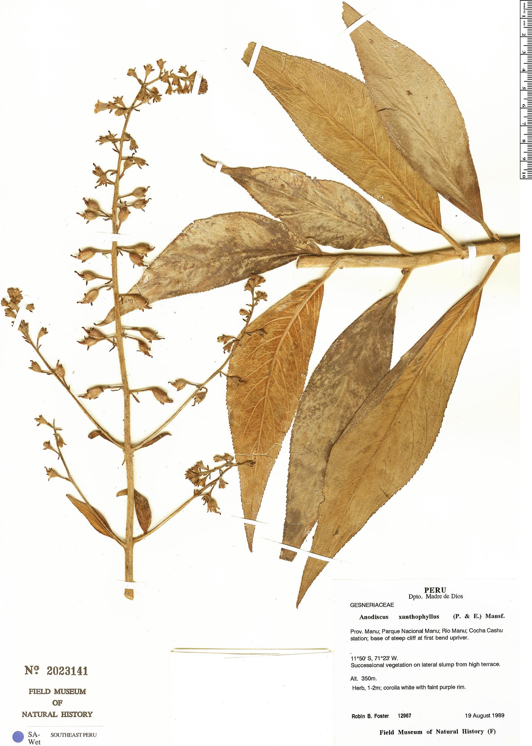 Specimen: Gloxinia xanthophylla