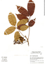 Tapirira guianensis Aubl., Brazil, C. A. Cid Ferreira 7289, F