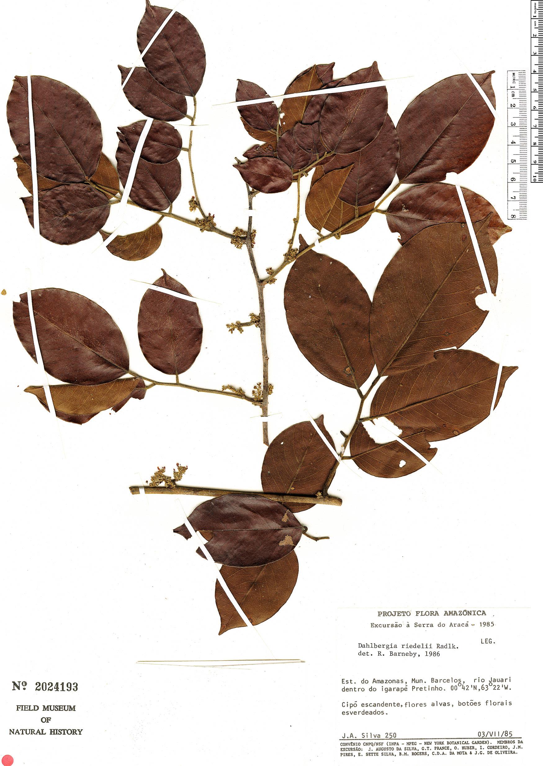 Specimen: Dalbergia riedelii