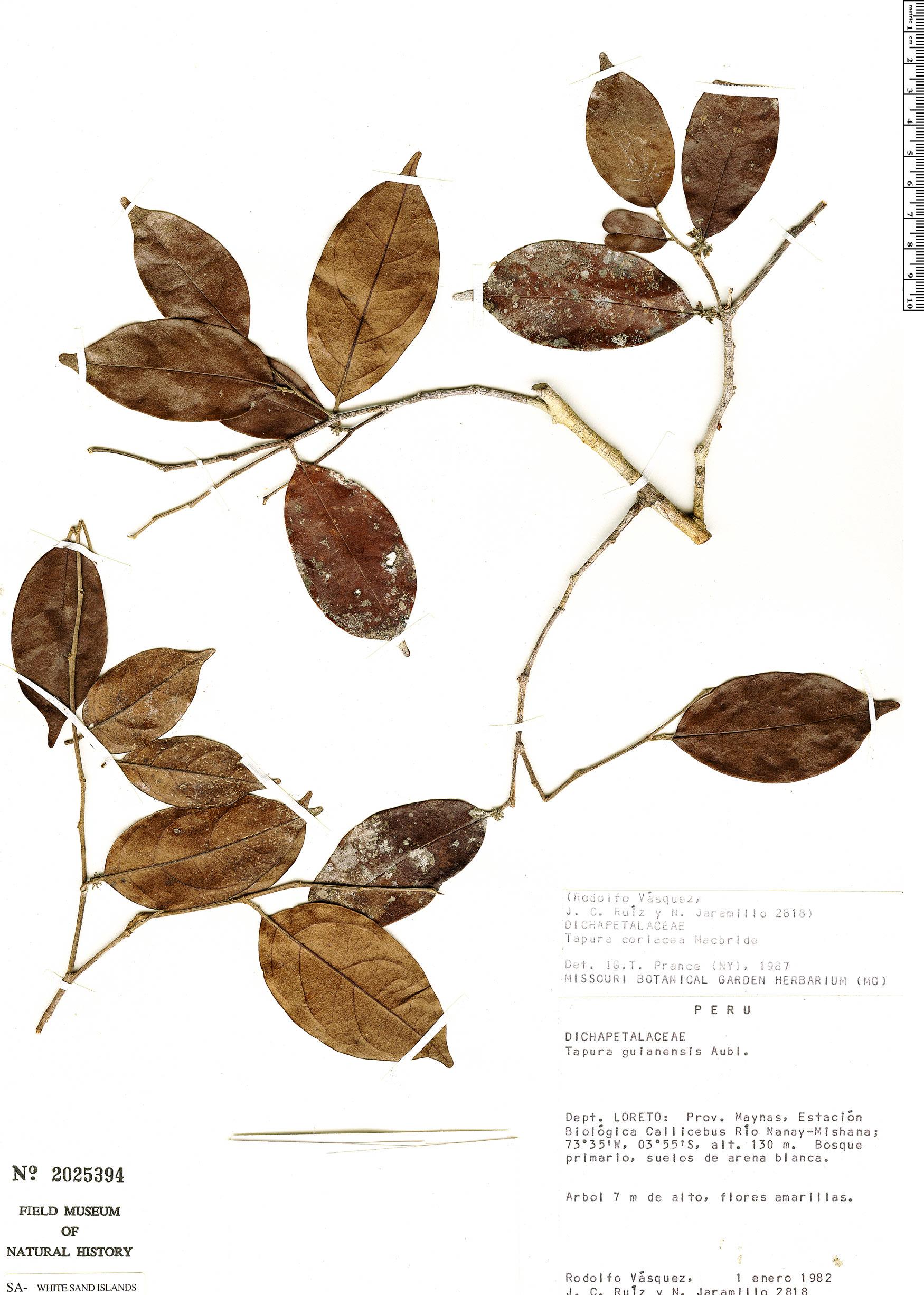 Specimen: Tapura coriacea