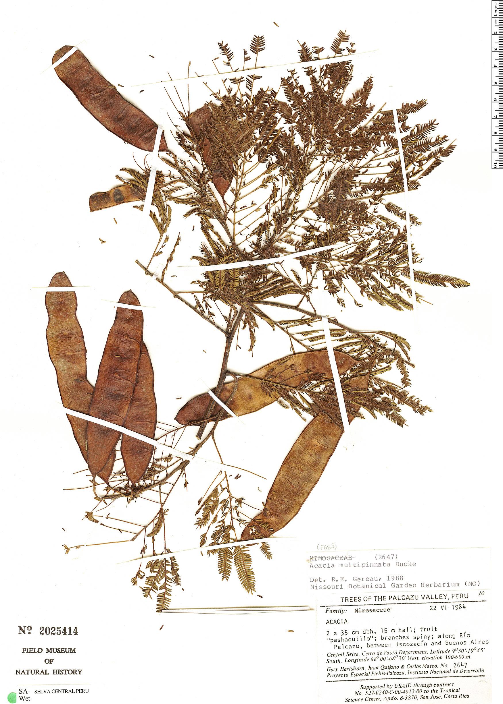 Specimen: Senegalia multipinnata