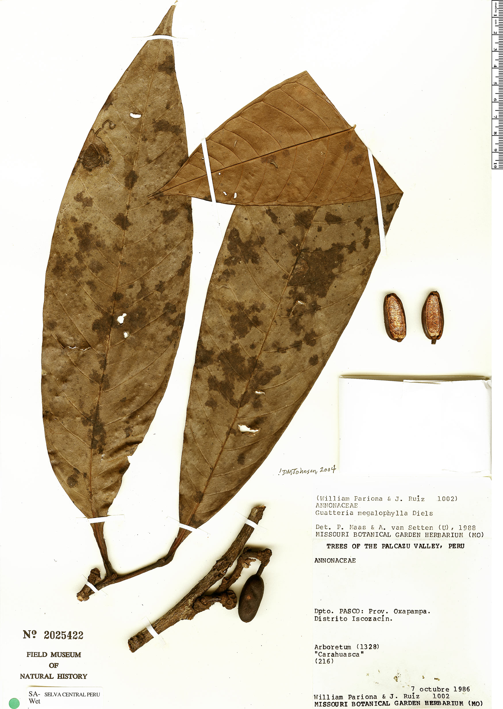 Specimen: Guatteria megalophylla