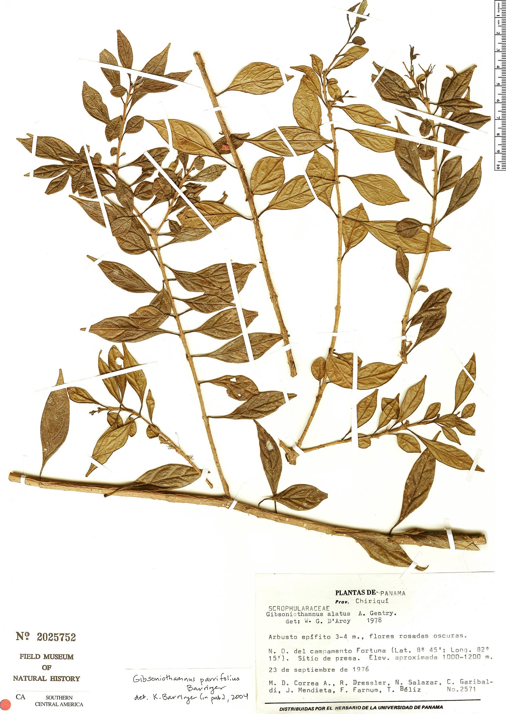 Specimen: Gibsoniothamnus parvifolius