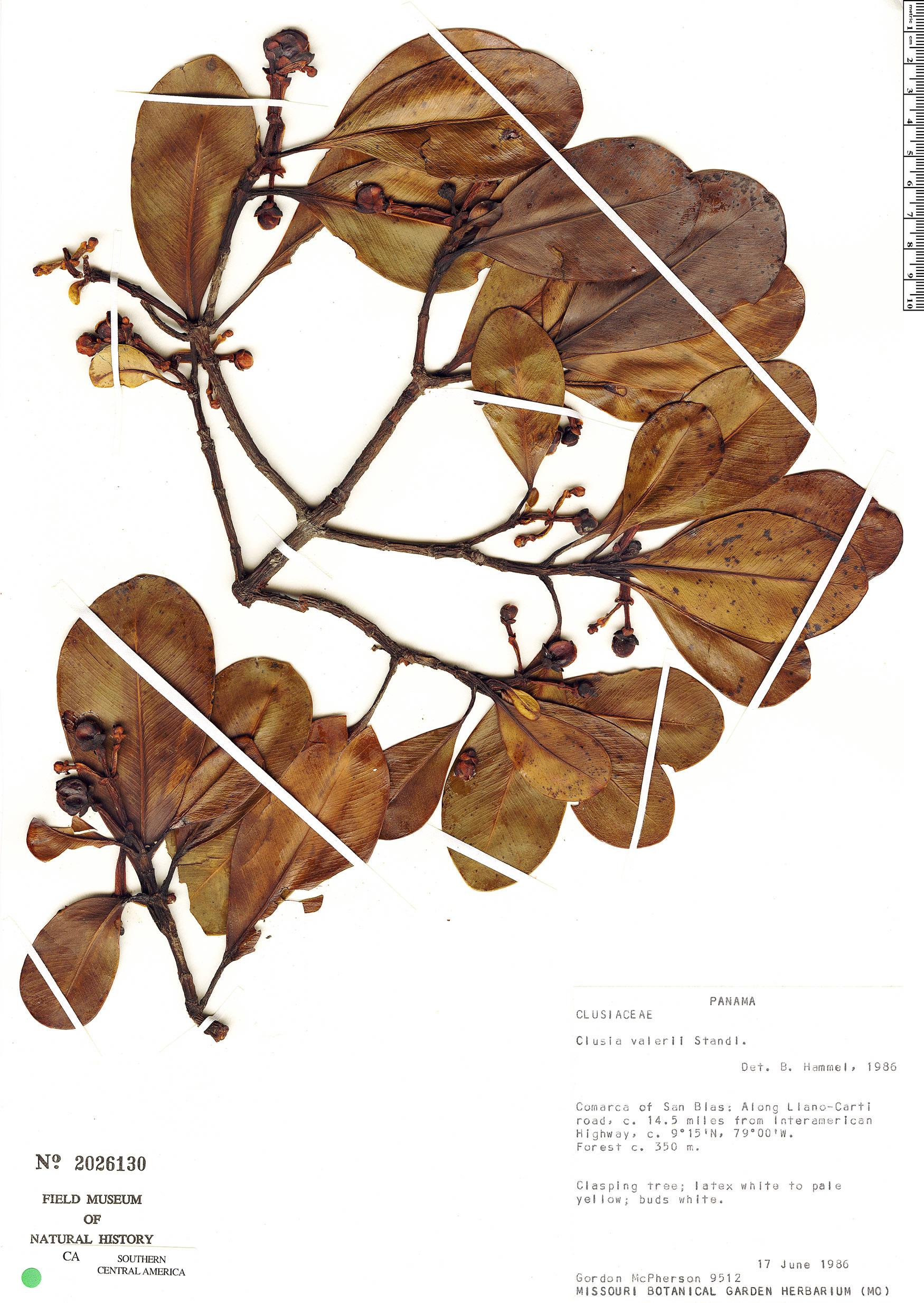 Image of Clusia valerioi