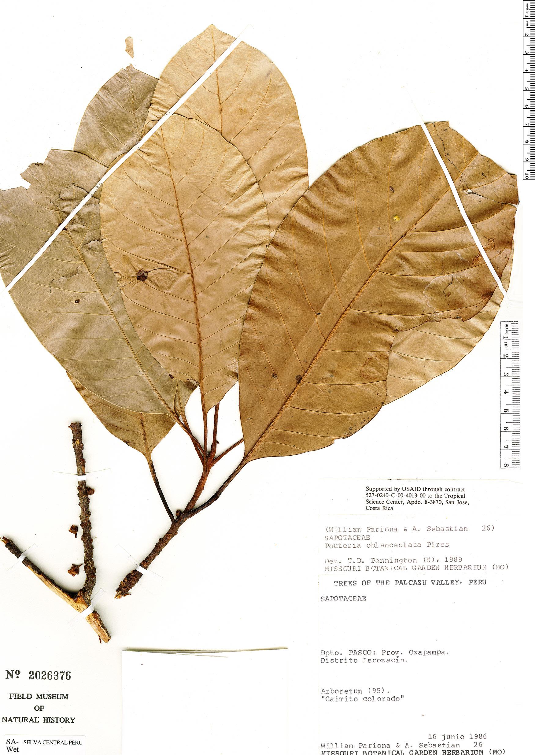 Specimen: Pouteria oblanceolata