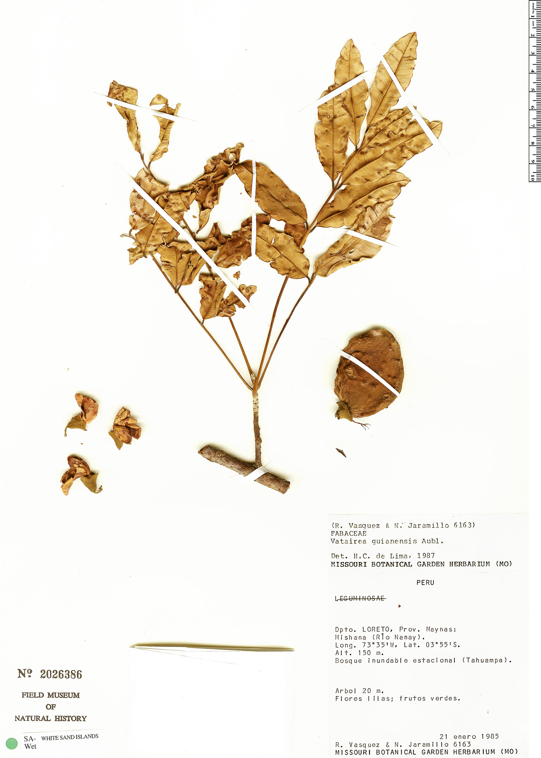 Specimen: Vatairea guianensis