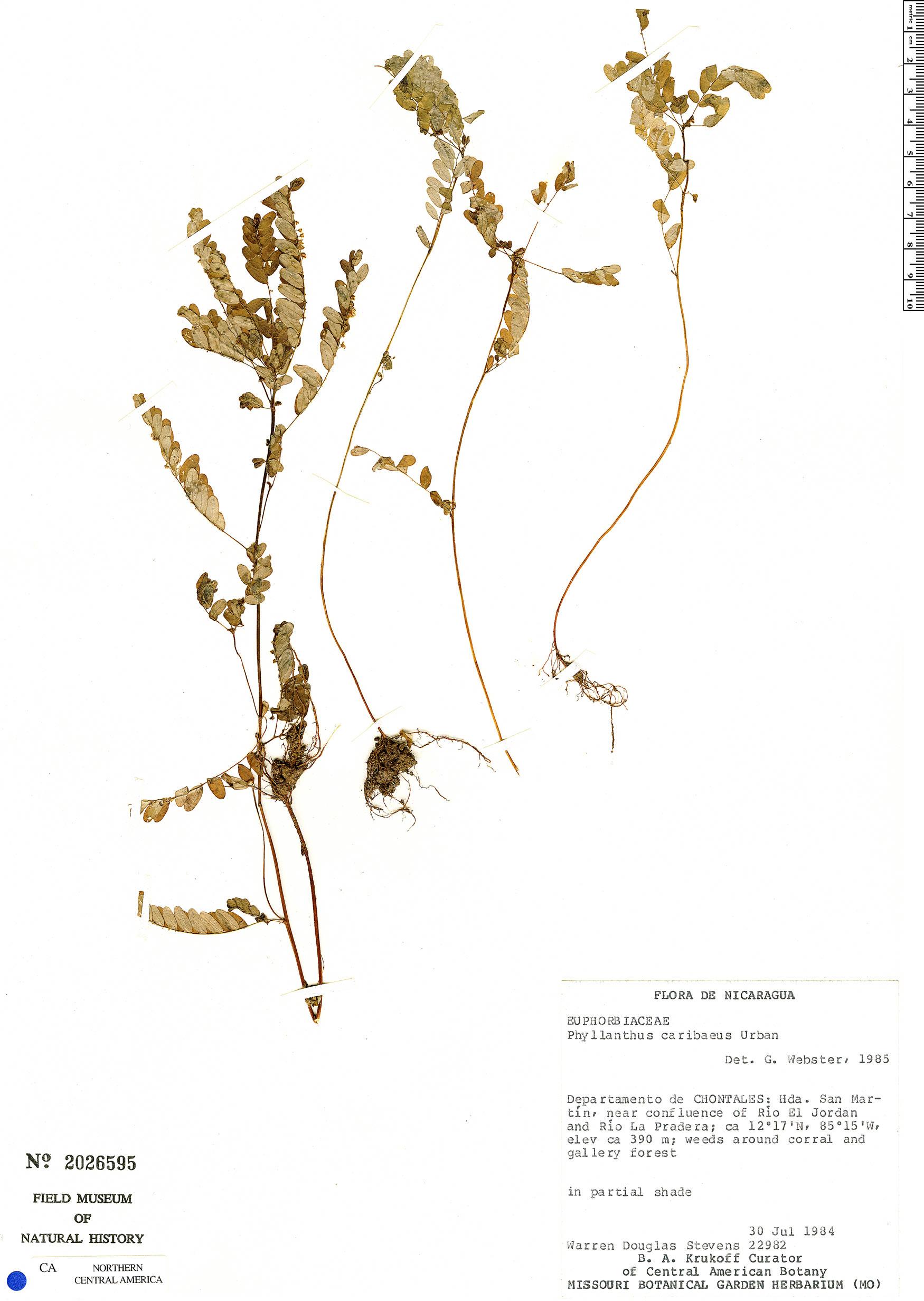 Specimen: Phyllanthus caribaeus