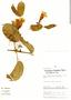 Anemopaegma chrysanthum Dugand, Peru, C. Díaz S. 2745, F