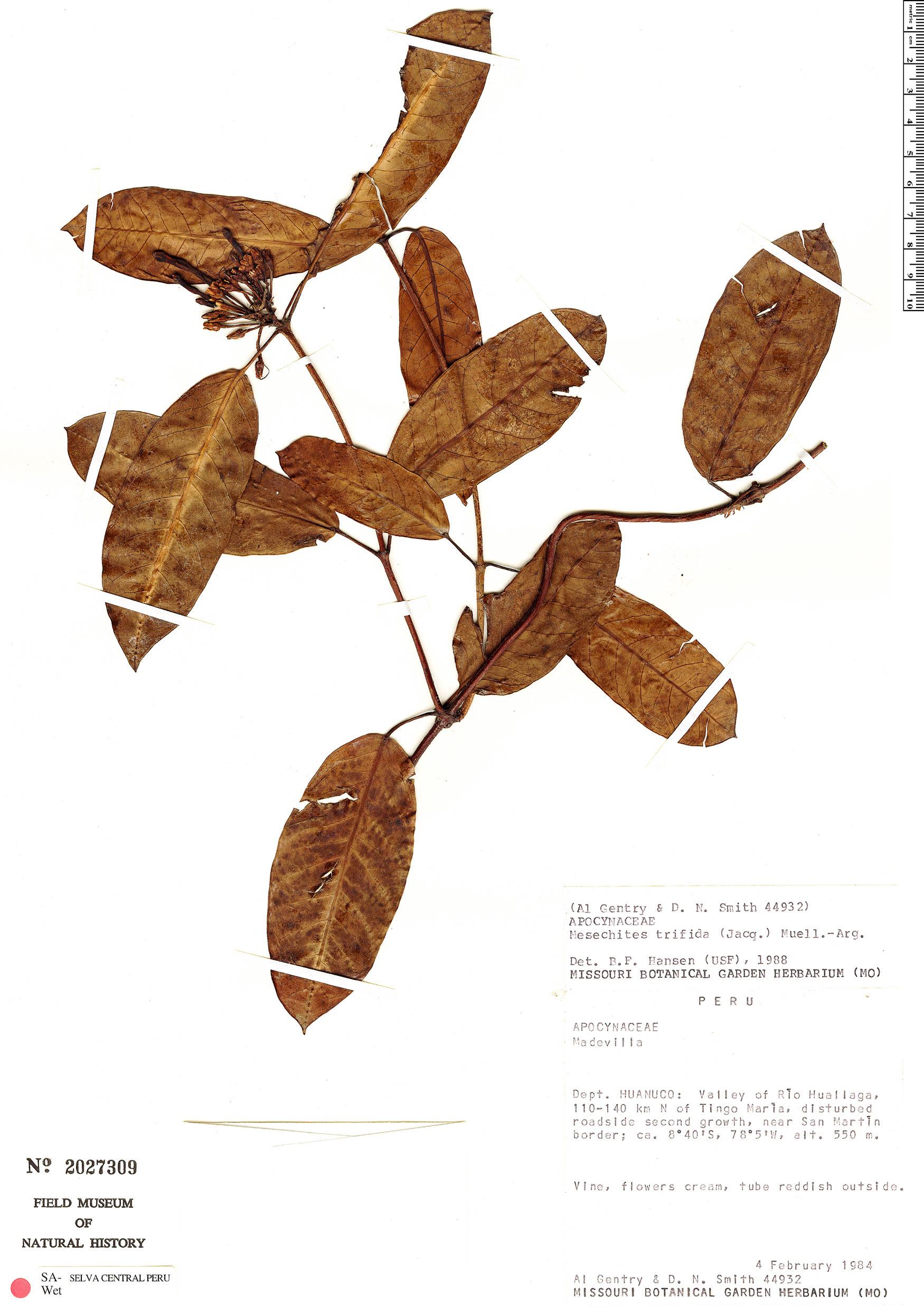 Specimen: Mesechites trifidus