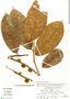 Helicostylis tomentosa, Peru, R. E. Spichiger 3043, F