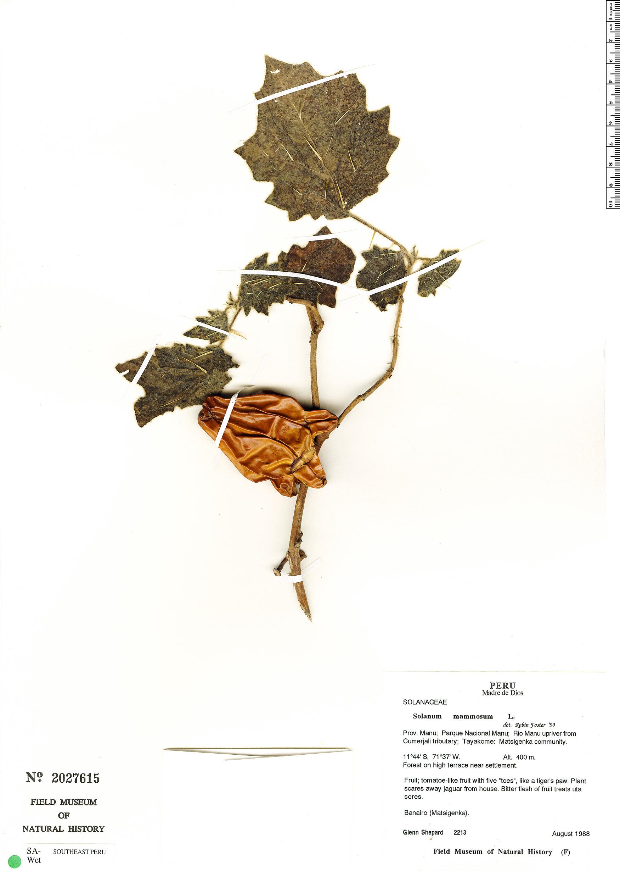 Espécime: Solanum mammosum