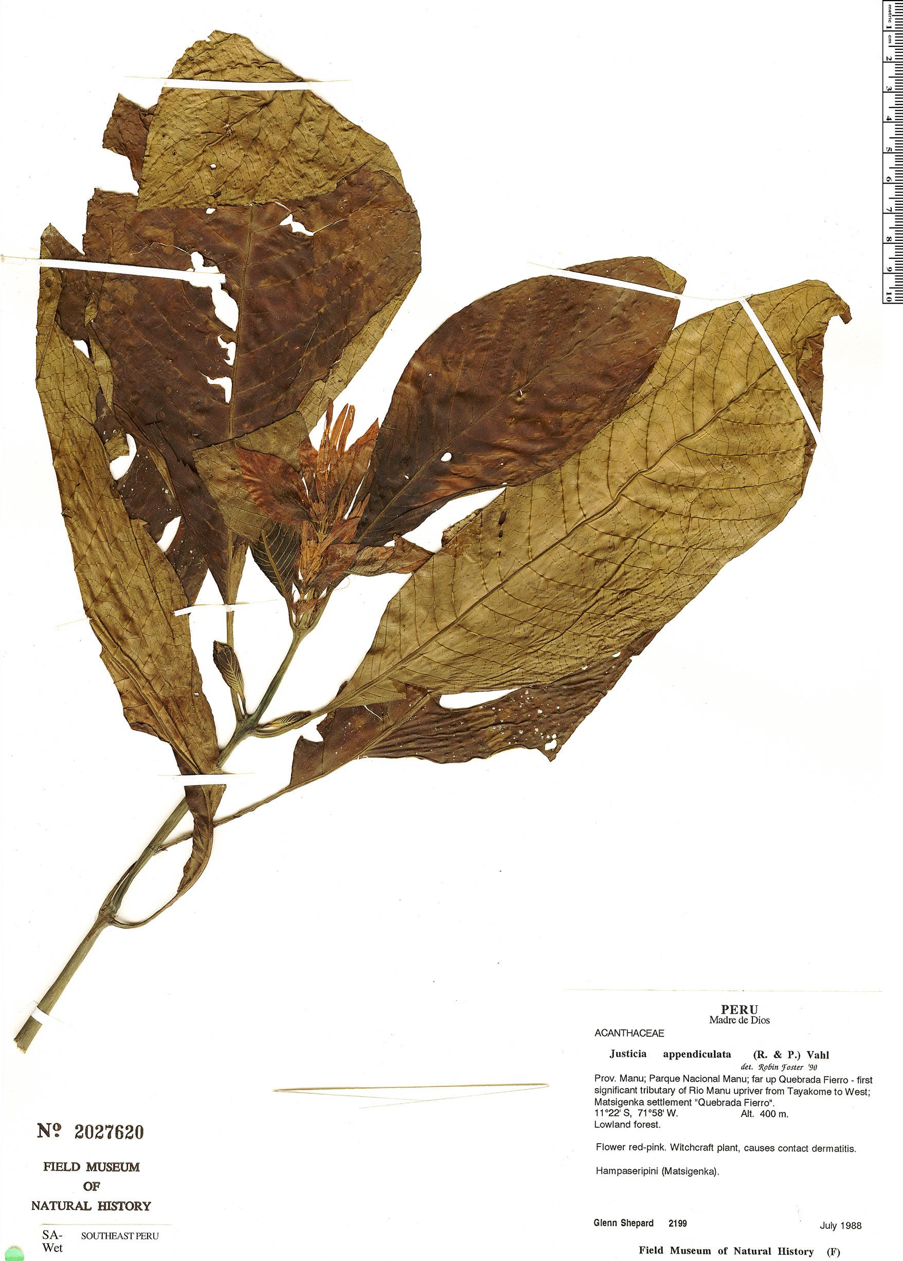 Specimen: Justicia appendiculata