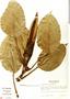 Philodendron rigidifolium image