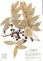 Tetragastris panamensis (Engl.) Kuntze, Costa Rica, B. E. Hammel 11173, F