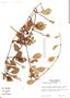 Struthanthus orbicularis (Kunth) Blume, Costa Rica, J. P. Folsom 9788, F
