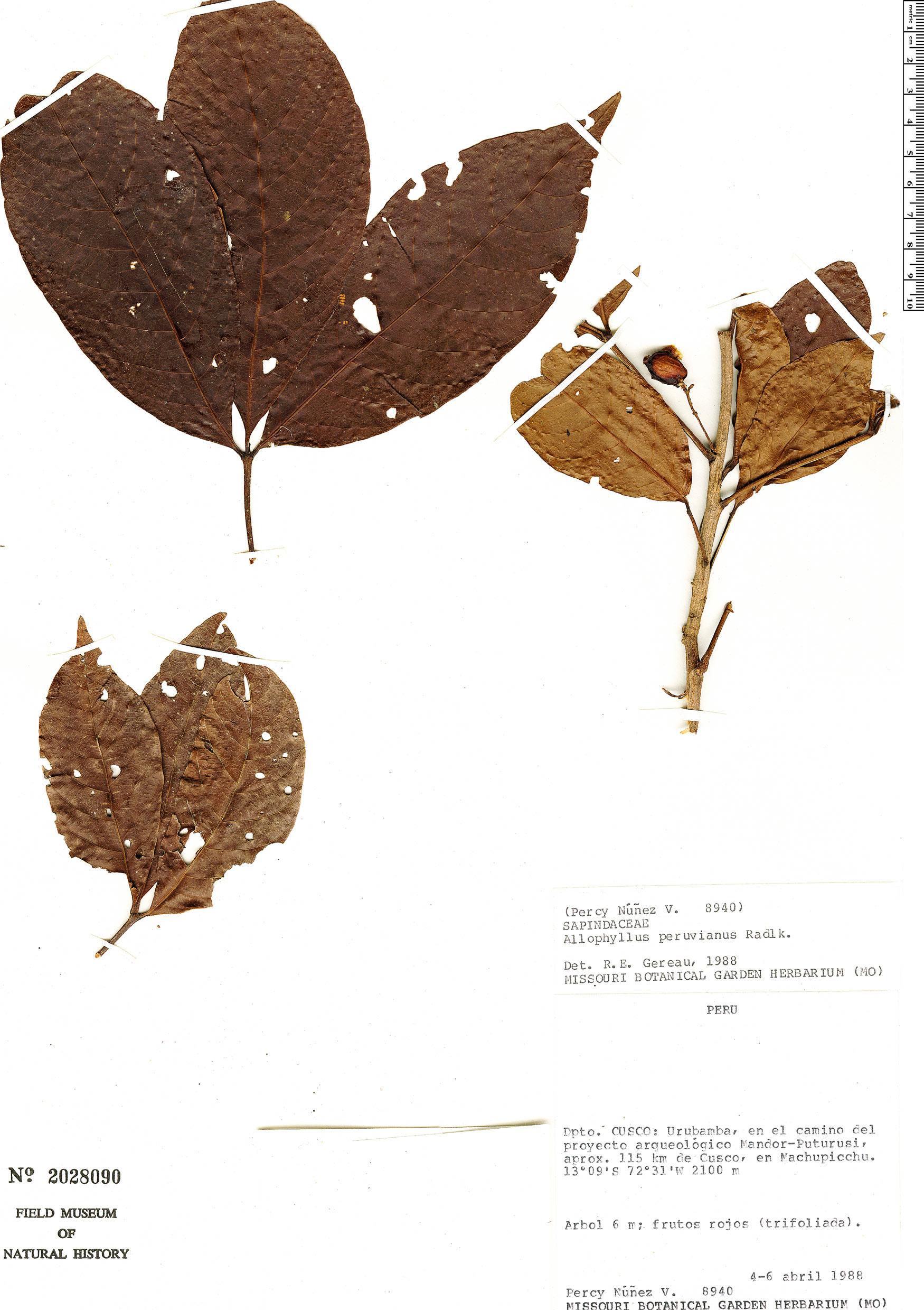Specimen: Allophylus peruvianus