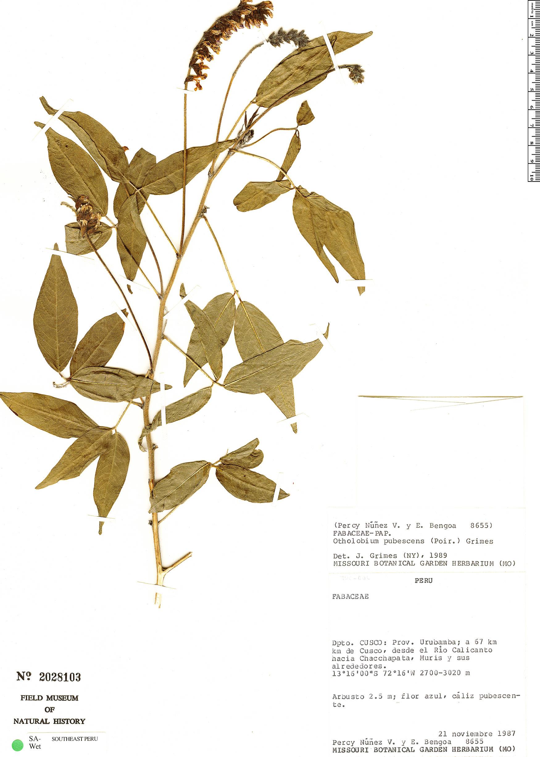 Specimen: Otholobium pubescens