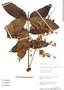 Loxopterygium huasango image