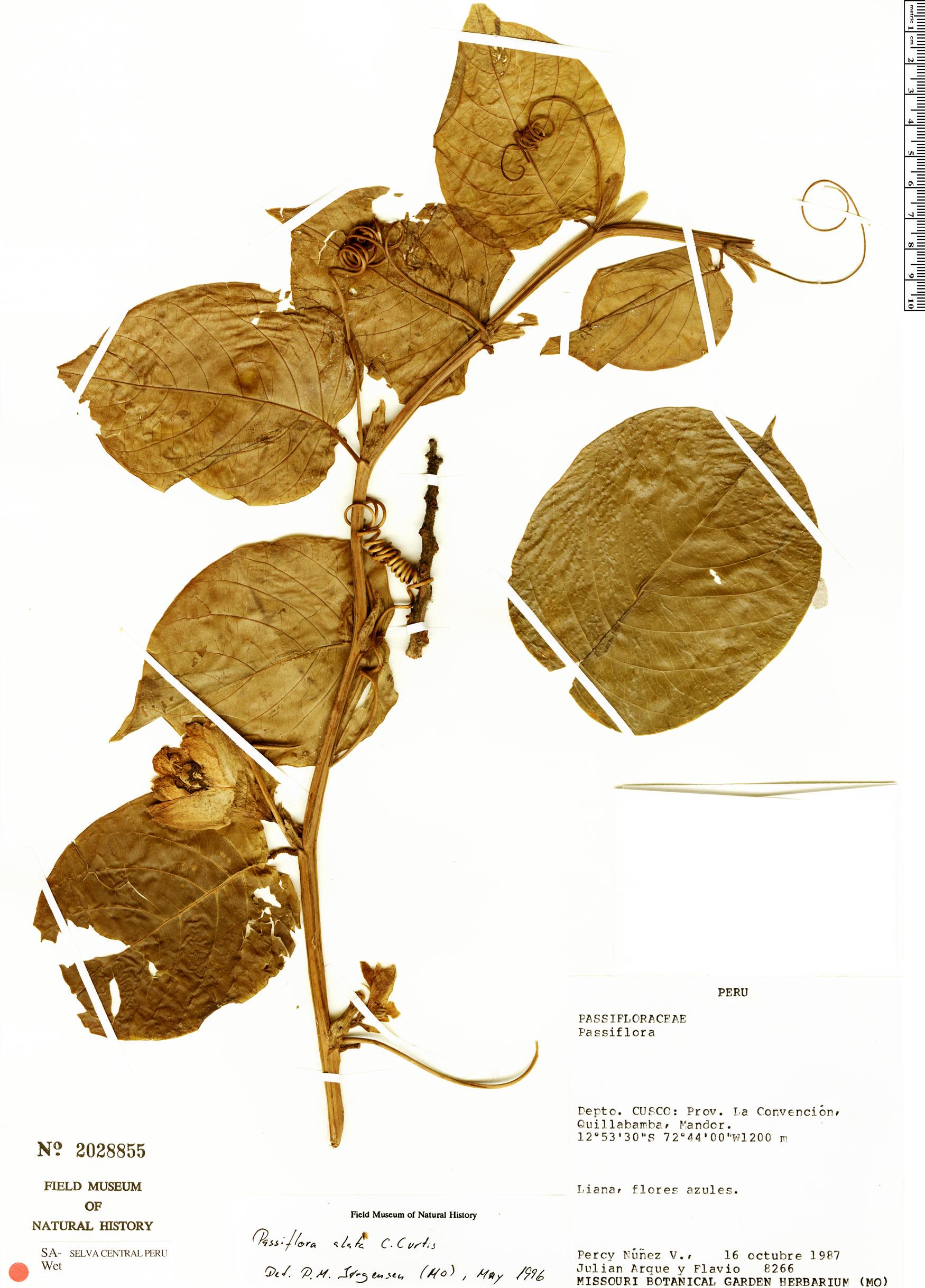 Specimen: Passiflora alata