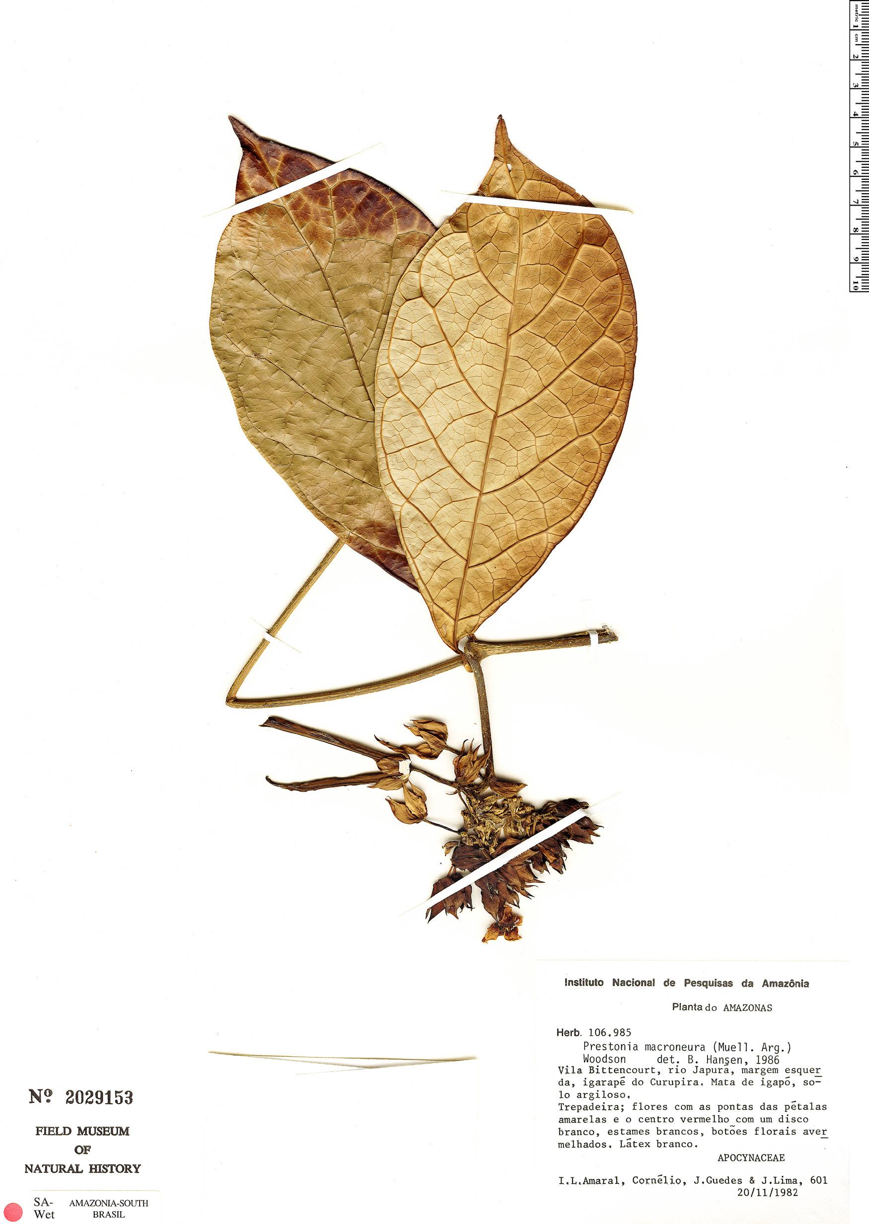Specimen: Prestonia macroneura