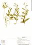 Sida rhombifolia L., Panama, A. Bethancourt 84, F