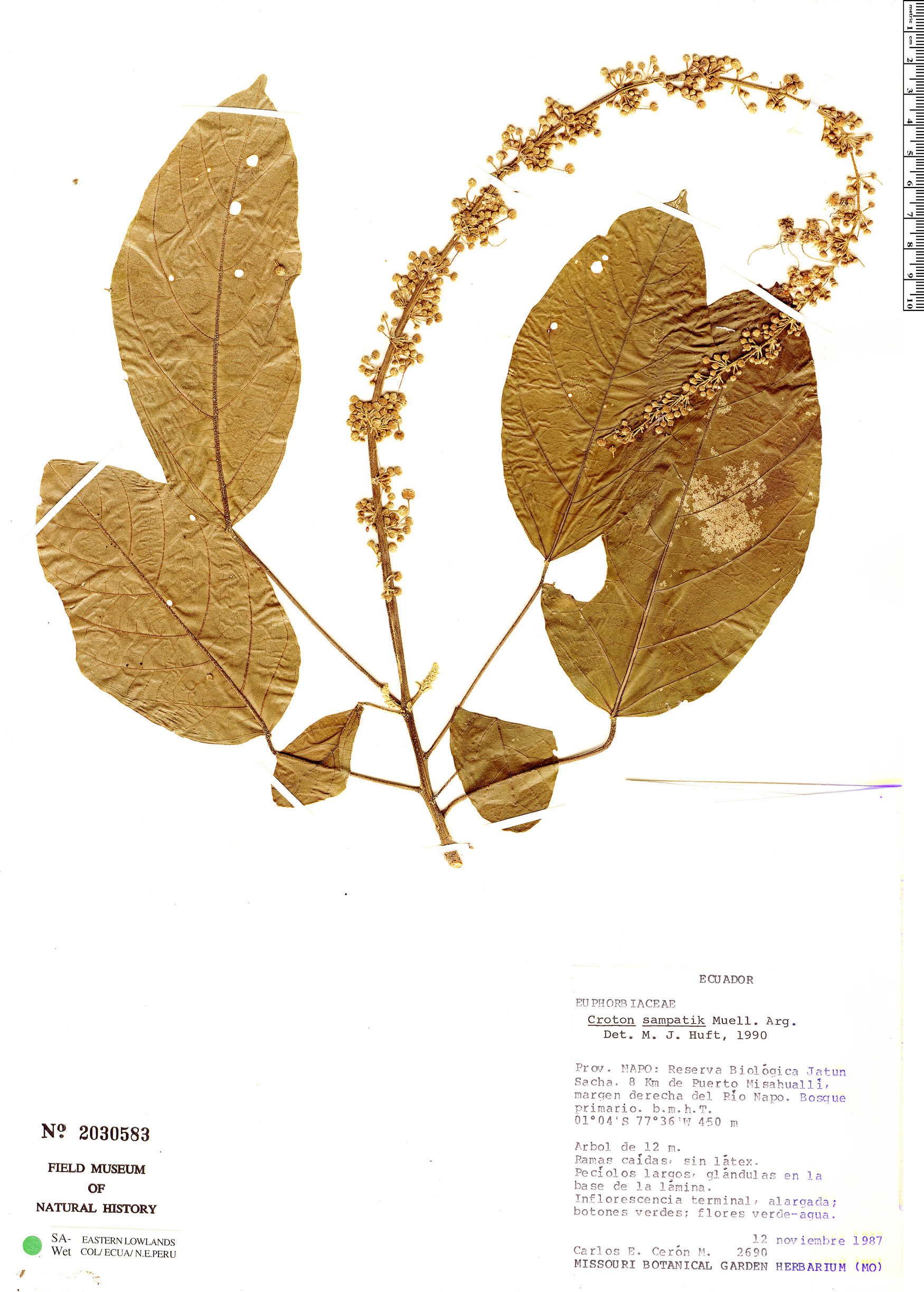 Specimen: Croton sampatik
