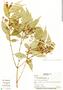 Myrcia gatunensis Standl., Panama, M. Rodriguez 89, F